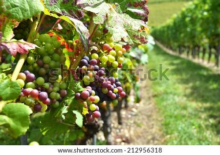 Vineyards in Colombier, Switzerland - stock photo