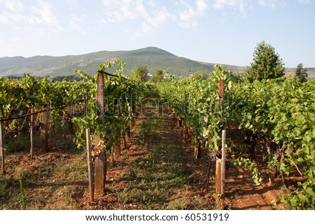 Vineyards in Medjugorje - stock photo