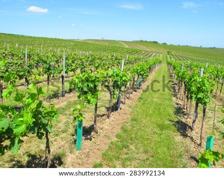 Vineyards in Moravia. Beautiful outdoor rural scenery.