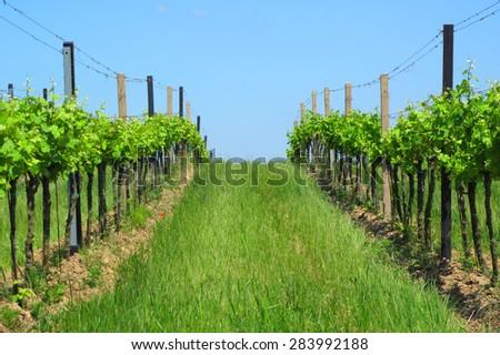 Vineyards in Moravia. Beautiful outdoor rural scenery. - stock photo