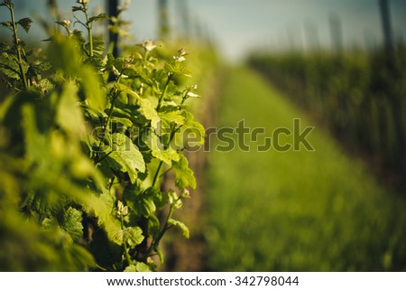 Vineyards in Rhineland Palatinate Germany Europe in early Summer on a sunny day - stock photo