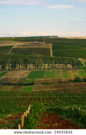 Vineyards in september