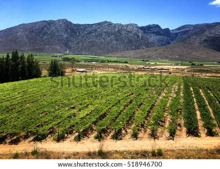 Vineyards in South Africa, mountains in background