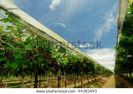 Vineyards in the country of Thailand. - stock photo