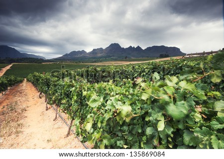 Vineyards in the Stellenbosch region of the Western Cape Province in South Africa - stock photo
