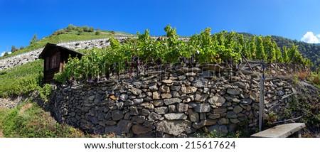 Vineyards in Visperterminen, Switzerland - Highest vineyards in Europe. Surrounded by Switzerland's highest mountains, the vineyards of Visperterminen flourish at altitudes of up to 1,200 m (4,000 ft) - stock photo