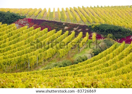 vineyards near Johannisberg Palace, Hessen, Germany
