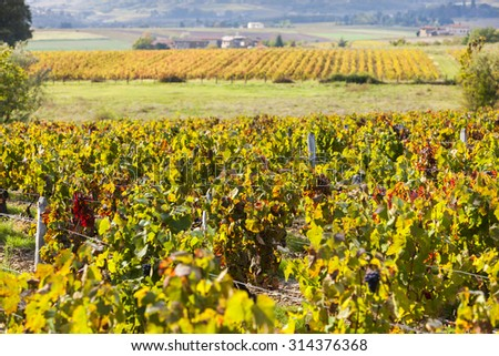 vineyards of Beaujolais, Rhone-Alpes, France - stock photo