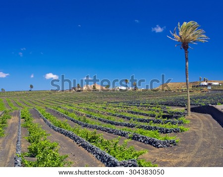 Vineyards of Lanzarote. Good Malvasia wines are growing protected by lava volcanic stone walls against the winds. Lonely palm tree against the background of blue sky. La Geria, Canary Islands, Spain - stock photo
