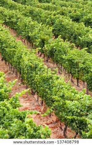 Vineyards of wine estate in Stellenbosch. - stock photo