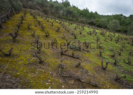Vineyards on the  slope of a hill, Evbia, Greece