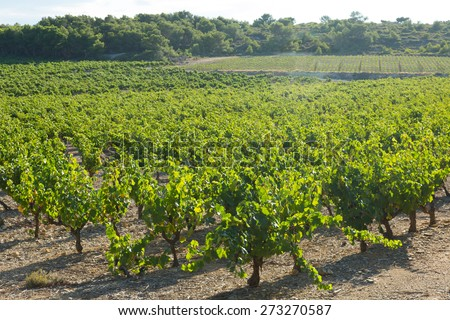 Vineyards plantation in sunny august day. Languedoc-Roussillon, France