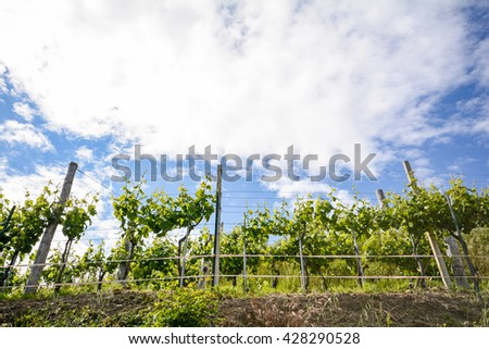 Vineyards with grape vines in early summer in Italy - stock photo