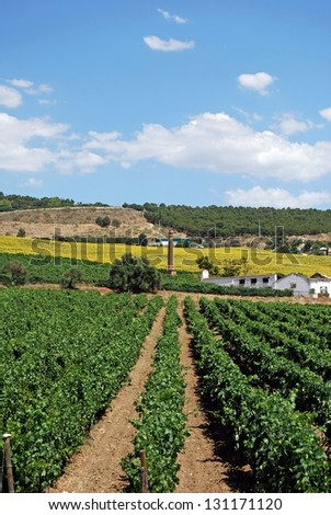 Vineyards with sunflowers to the rear, Cortes de la Frontera, Malaga Province, Andalusia, Spain, Western Europe. - stock photo