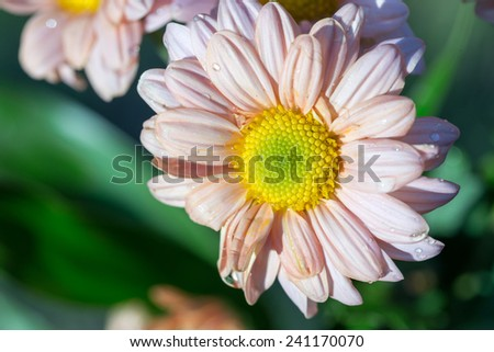Vintage asters - stock photo