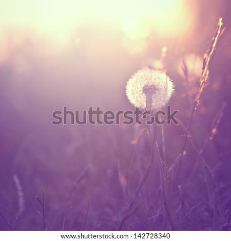 Vintage background with dandelion at sunrise - stock photo