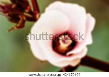 Vintage blur background pink flower of Jamaica Sorrel or Hibiscus sabdariffa - stock photo