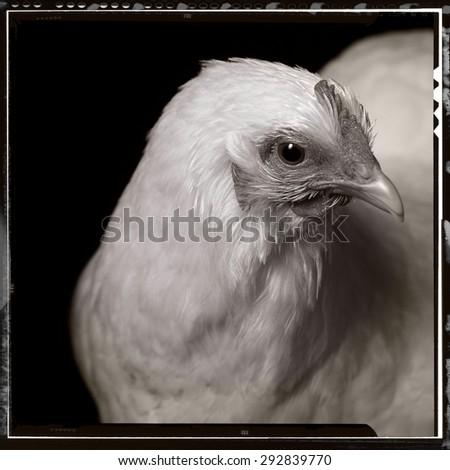 vintage chicken - stock photo