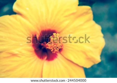vintage close-up of fresh blooming orange flower, hibiscus in garden - stock photo