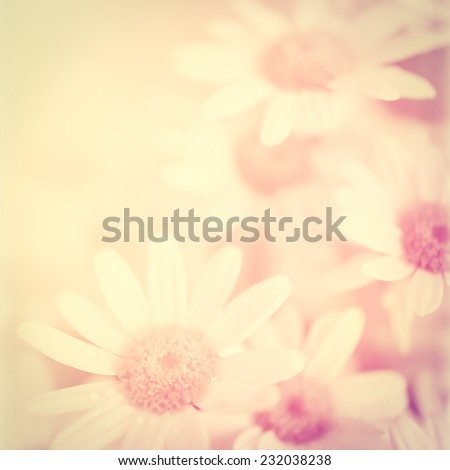vintage color Chrysanthemums in soft color and blur style for background - stock photo