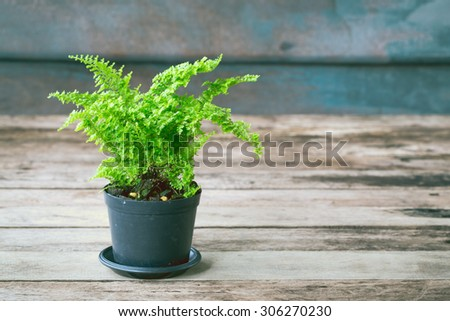Vintage color soft light tone of Ferns are growing in black pots on wooden background. Image has shallow depth of field. - stock photo