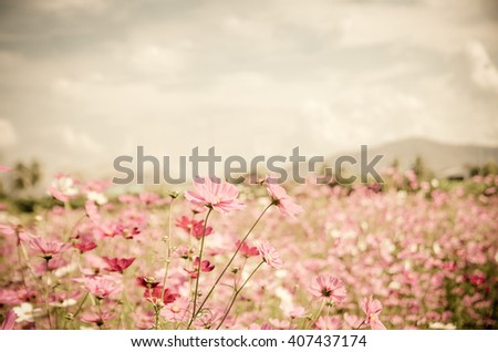 Vintage color style cosmos flower in the garden.