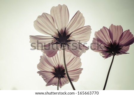 Vintage Cosmos flowers  - stock photo