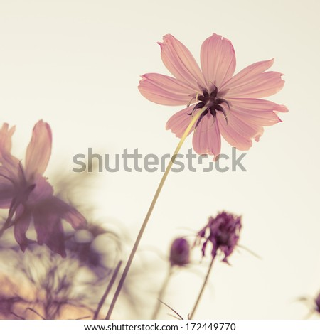 Vintage Cosmos flowers and sky - stock photo
