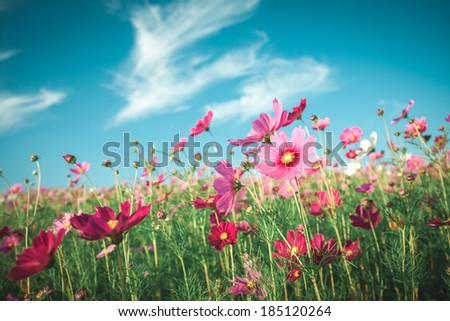 Vintage Cosmos flowers field in sunset time - stock photo