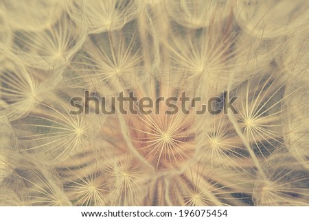 Vintage dandelion macro photo - stock photo
