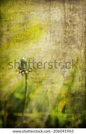 Vintage dandelion with light green grass background and sun flare
