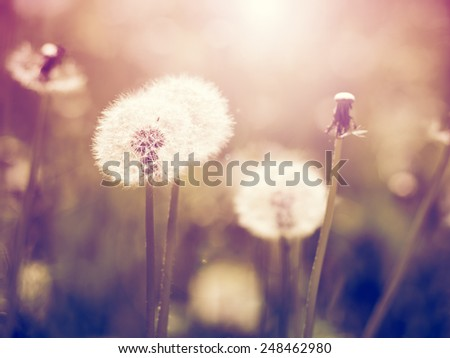 Vintage dandelions on meadow - stock photo