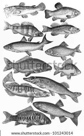 Vintage drawing of major European fishes species; drawing from the beginning of 20th century - Picture from Meyers Lexicon books collection (written in German language) published in 1908, Germany. - stock photo