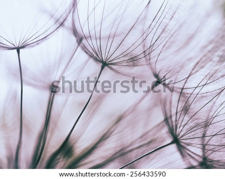 Vintage effect - Purple abstract dandelion flower background, extreme closeup with soft focus, beautiful nature details