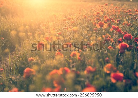Vintage effected photo of poppy flower field in sunset - stock photo