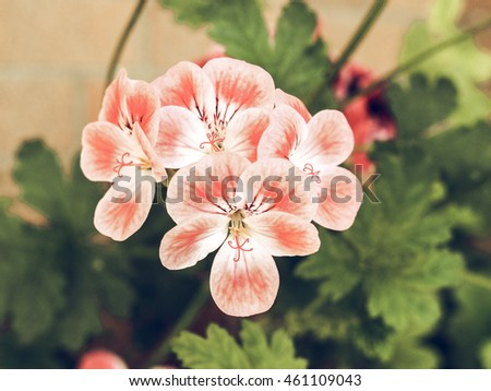 Vintage faded Pink Geranium flower of flowering plants commonly known as cranesbills flower