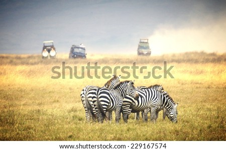 Vintage filtered  image from zebra' s grazing on grassland in Africa  - stock photo