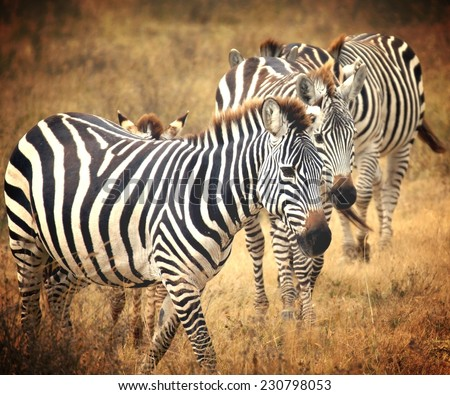 Vintage filtered  image from zebra' s grazing on grassland in Africa