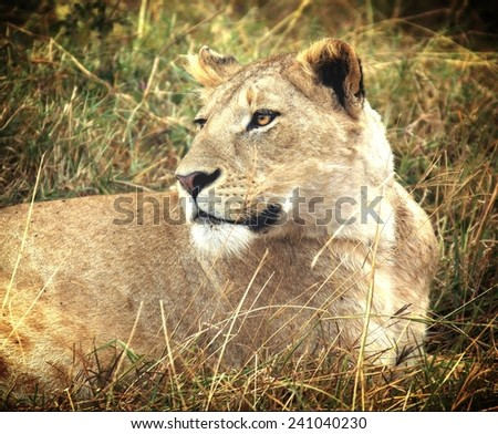 Vintage filtered look from a safari in Africa showing a female  lion  - stock photo
