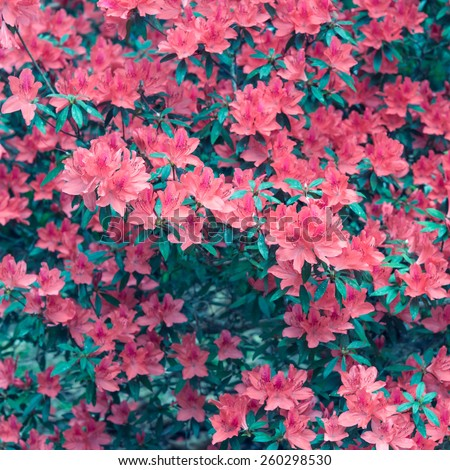 Vintage flowers, red rhododendron blossom - stock photo