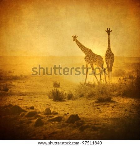 vintage image of giraffes in amboseli national park, kenya - stock photo