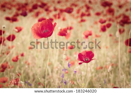 Vintage image of poppies and poppy's seed in the field - stock photo