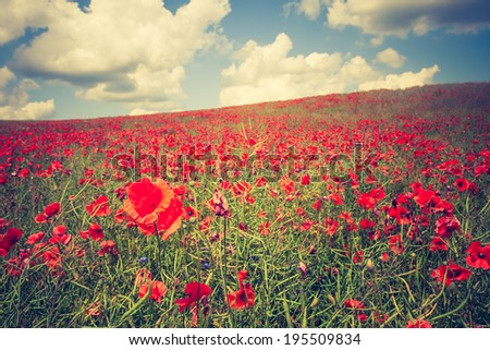 vintage landscape photo of red poppies field  - stock photo