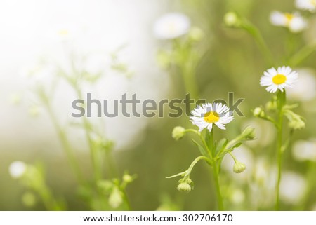 Vintage little white daisy flower and grass for nature agriculture abstract background - stock photo