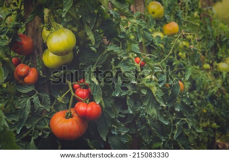 vintage looking multicolor tomatoes growing in a garden - stock photo