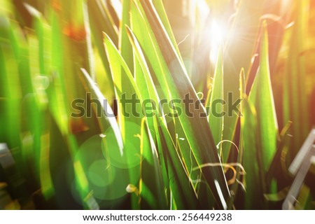 Vintage nature background. Sun glowing through lush green yucca leaves - stock photo