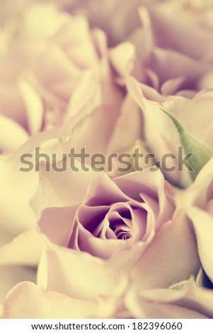 Vintage photo of beautiful roses - stock photo