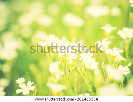 Vintage photo of blooming white flowers of chickweed in green grass. Nature springtime flowers background.