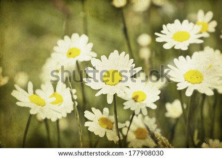 Vintage photo of chamomile flowers in spring field - stock photo