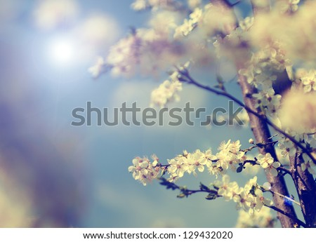 Vintage photo of cherry tree flowers with blue sky - stock photo